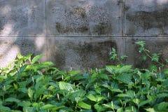Piper sarmentosum Roxb Royalty Free Stock Images