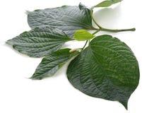 Piperaceae op witte achtergrond wordt geïsoleerd die royalty-vrije stock afbeelding
