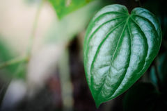 Piperaceae próximo acima no fundo imagens de stock royalty free