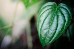 Piperaceae som är nära upp på bakgrund royaltyfria bilder