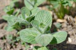Piperita do Mentha Imagem de Stock