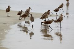 Pipers in the Sand Stock Photography