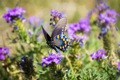 Pipevine masculino Swallowtail Fotos de Stock Royalty Free
