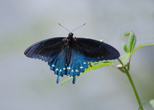 Pipevine motyl Swallowtail obrazy royalty free