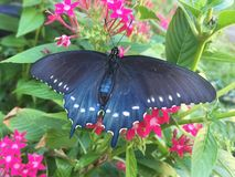 Pipevine Swallowtail在pentas花点燃 免版税库存照片