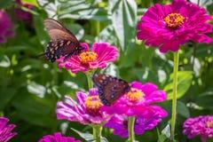 Pipevine Swallowtail蝴蝶 免版税库存照片
