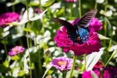 Pipevine Swallowtail蝴蝶 图库摄影