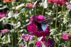 Pipevine Swallowtail蝴蝶 库存图片