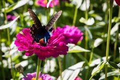 Pipevine Swallowtail蝴蝶 免版税图库摄影