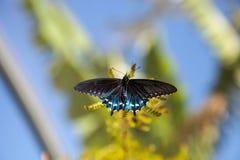 Pipevine Swallowtail蝴蝶Battus philenor 库存图片