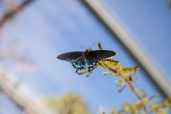 Pipevine Swallowtail蝴蝶Battus philenor 图库摄影