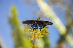 Pipevine Swallowtail蝴蝶Battus philenor 免版税库存图片