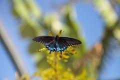 Pipevine Swallowtail蝴蝶Battus philenor 免版税图库摄影