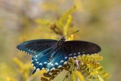 Pipevine Swallowtail蝴蝶Battus philenor 免版税库存照片