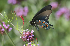 Pipevine Swallowtail  Stock Images