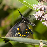 pipevine swallowtail Fotografia Stock