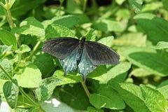Pipevine Swallowtail Basisrecheneinheit Lizenzfreie Stockbilder