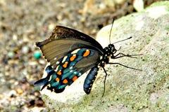 Pipevine Swallowtail Basisrecheneinheit stockbild