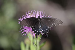 Pipevine Swallowtail (Battus philenor) Butterfly Stock Photos