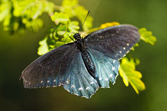 Pipevine Swallowtail Butterfly royalty free stock photography
