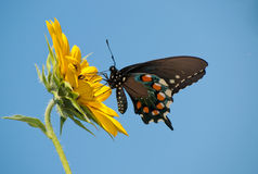 Pipevine Swallowtail butterfly Royalty Free Stock Image