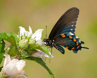 Pipevine Swallowtail butterfly Royalty Free Stock Photos