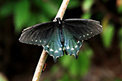 Pipevine Swallowtail Butterfly. Battus philenor or Blue swallowtail. Pipevine swallowtail butterfly found in North and Central America. The butterflies are black Royalty Free Stock Image