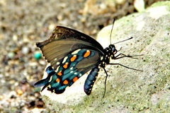 Pipevine Swallowtail Butterfly. Battus philenor or Blue swallowtail. Pipevine swallowtail butterfly found in North and Central America. The butterflies are black Stock Image