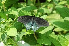 Pipevine Swallowtail Butterfly. Or Blue Swallowtail or Battus philenor rests on some leaves Royalty Free Stock Images