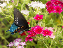 Pipevine Swallowtail butterfly feeding on brilliant pink Star Phlox flowers Royalty Free Stock Photography