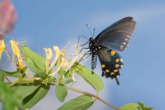 Pipevine Swallowtail butterfly feeding on a Japanese Honeysuckle flower. With blue sky background stock photography