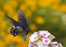 Pipevine Swallowtail butterfly feeding on light pink Phlox Stock Photos