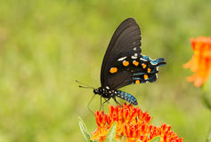 Pipevine Swallowtail butterfly feeding on an orange Butterflyweed Stock Photos