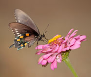 Pipevine Swallowtail butterfly feeding on a pink Z Stock Photo