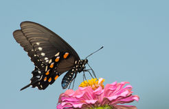 Pipevine Swallowtail butterfly feeding on a pink zinnia flower Stock Photos