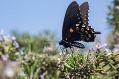 A Pipevine Swallowtail Butterfly Lands on Blooming Rosemary stock images
