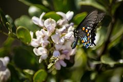 A Pipevine Swallowtail Butterfly lands on Flower royalty free stock photo
