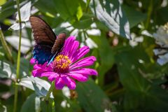 Pipevine Swallowtail Butterfly on an Pink Flower Royalty Free Stock Photography
