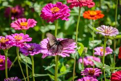 Pipevine Swallowtail Butterfly on a Pink Flower Royalty Free Stock Image