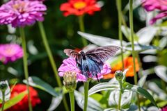 Pipevine Swallowtail Butterfly on a Pink Flower Royalty Free Stock Photos