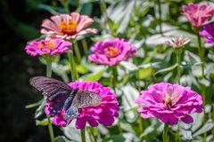 Pipevine Swallowtail Butterfly on a Pink Flower Stock Photography