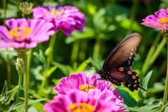 Pipevine Swallowtail Butterfly on a Pink Flower. Black and blue swallowtail resting on a pink flower like a dahlia or zinnia Stock Image