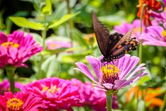 Pipevine Swallowtail Butterfly on a Pink Flower. Black and blue swallowtail resting on a pink flower like a dahlia or zinnia Stock Photo