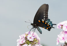 Pipevine Swallowtail butterfly on pink Phlox blooms Royalty Free Stock Photos