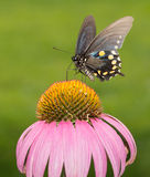 Pipevine Swallowtail butterfly on Purple Coneflower Stock Photos