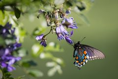 Pipevine Swallowtail Butterfly on Purple Wisteria Flowers Royalty Free Stock Images