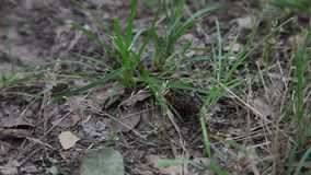 Pipevine Swallowtail Caterpillar. stock video