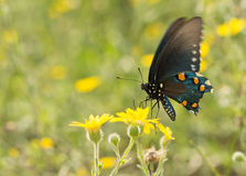 Pipevine Swallowtail fjäril som matar på en gul vildblomma arkivfoto