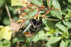Pipevine Swallowtail Flying Near a Firebush in a Southern Florida Garden. Pipevine Swallowtail Battus philenor Flying Near the Orange Flowers of a Firebush royalty free stock photography