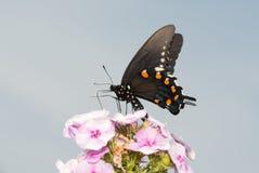 Pipevine Swallowtail motyli karmienie na różowym floksie kwitnie Zdjęcia Royalty Free